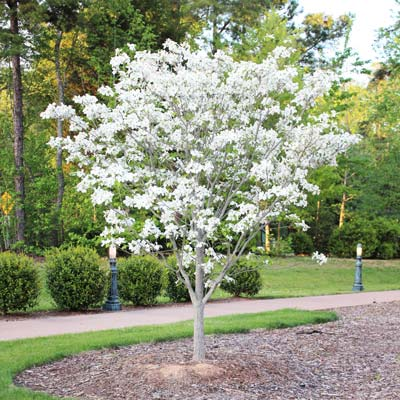 dogwood-white-travis-400-01