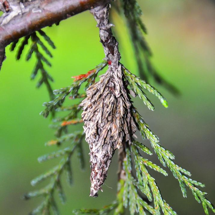 bagworm cacoon